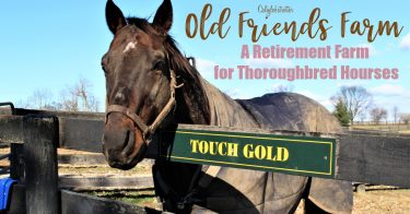 Old Friends Farm: An Animal Sanctuary for Retired Thoroughbred Horses outside of Lexington, Kentucky | Where do Retired Thoroughbred Horses Go? | Horse Sanctuary | Life after Racing | Retired Race Horses | Retired Thoroughbred Race Horses | Famous Race Horses | Stop Horse Slaughter | Help Protect Thoroughbred Horses #Kentucky #KentuckyDerbyWinners - California Globetrotter
